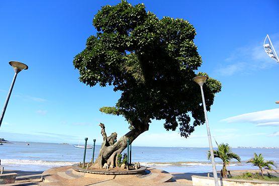 Foto da Figueira Centenária